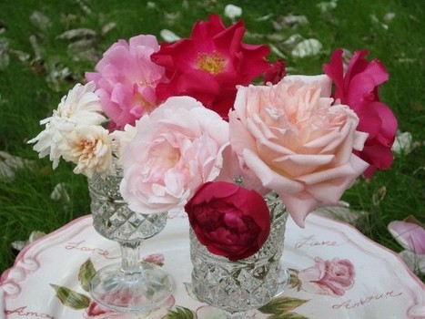 All About the Antique and Old Garden Roses blooming NOW | The Old Garden Rose Blog | Annie Haven | Haven Brand | Scoop.it