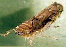 Viticulture: Vers la mise au point d'un modèle maladie pour la cicadelle de la flavescence dorée | Agriculture en Gironde | Scoop.it