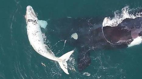 Extremely rare white whale calf filmed by drone off Western Australia coast | Whale and dolphin management | Scoop.it