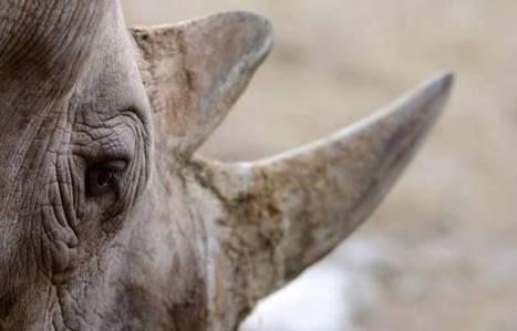 24 suspected rhino poachers arrested   eNCA   Kruger & African Wildlife   Scoop.it