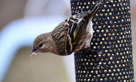 Massive southern invasions by northern birds linked to climate shifts | GarryRogers Biosphere News | Scoop.it