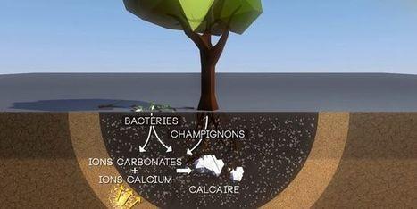 Ces arbres «sauveurs» qui stockent le dioxyde de carbone dans le sol | décroissance | Scoop.it