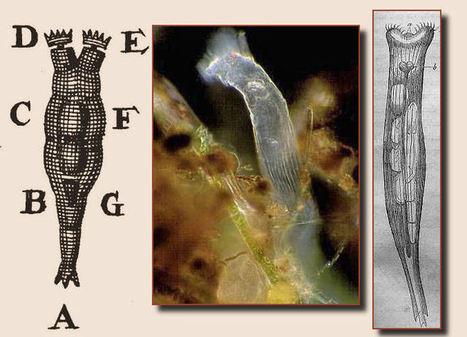 rotifer1.jpg (676x488 pixels)   soil mesocosm   Scoop.it