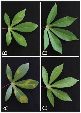 PLOS ONE: Exploiting the Combination of Natural and Genetically Engineered Resistance to Cassava Mosaic and Cassava Brown Streak Viruses Impacting Cassava Production in Africa | plant cell genetics | Scoop.it