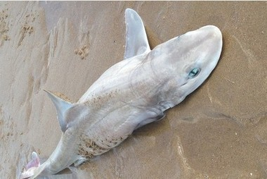 """""""It was horrific"""": 55 #vulnerable #sharks found on #PwllDu  S. #Wales! #Need4CatchLimits! 