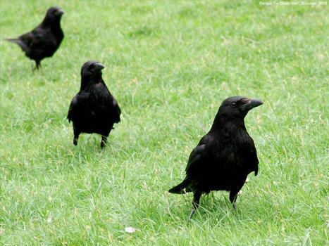 Los cuervos comprenden las relaciones entre otros congéneres   Medio ambiente   Scoop.it