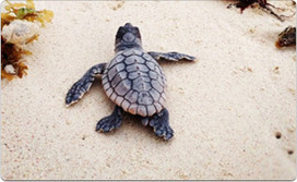 Mexico Real Estate News: Mexico Leads International Sea Turtle Conservation Efforts   Animal conservation   Scoop.it