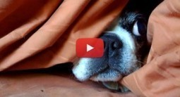 Boston Terrier that does a Lie-In! His Owner Found Him! (Video) | Boston Terrier Dogs | Scoop.it