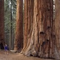 The frighteningly rapid die-off of the world's oldest trees   Daily Crew   Scoop.it