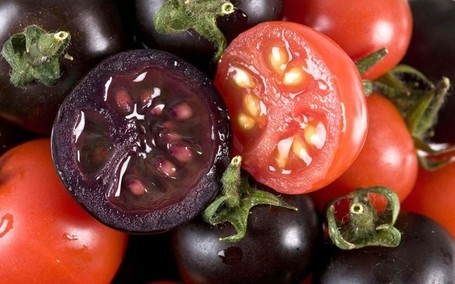Genetically modified purple tomato 'tastier tha... | Agricultural Biodiversity | Scoop.it