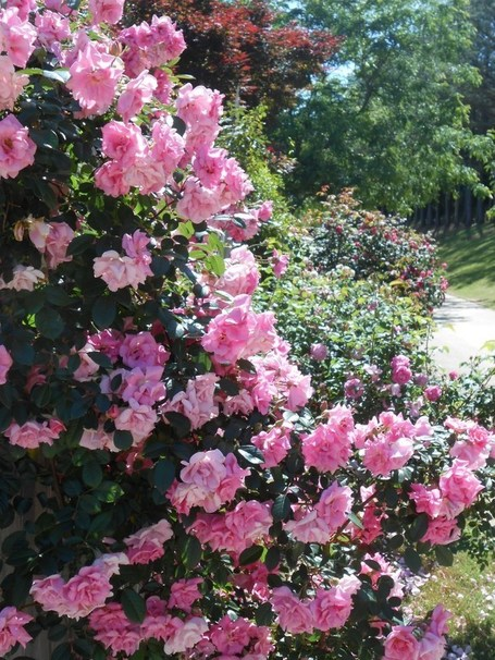 Climbing Pinkie | Polyantha | Earth Kind Rose | National Rose Month | Natural Soil Nutrients | Scoop.it