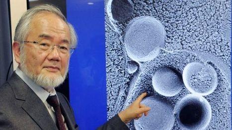 El biólogo japonés Yoshinori Ohsumi gana el premio Nobel de Medicina - BBC Mundo   Ingeniería Biomédica   Scoop.it