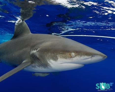 5 Basics of Shark Diving | Whale & Great White Shark Diving | Scuba Diving | Scoop.it