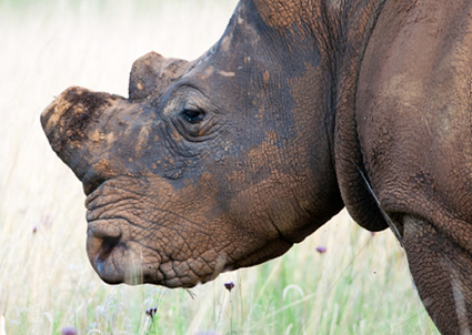 South Africa's Game Industry Insiders Continue to Evade Punishment for Rhino ... - Annamiticus | Kruger & African Wildlife | Scoop.it