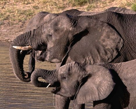 UK could completely ban ivory trade by 2018 | Heritage in danger (illicit traffic, emergencies, restitutions)-Patrimoine en danger | Scoop.it