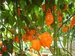 """""""Capsicum chinense"""",chile habanero   ECOLOGIA Y SALUD: Plantas aromáticas y medicinales.   Scoop.it"""