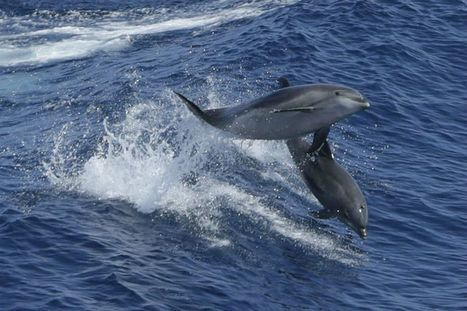 Dolphins may speak in words and sentences, say researchers | Eldritch Weird | Scoop.it