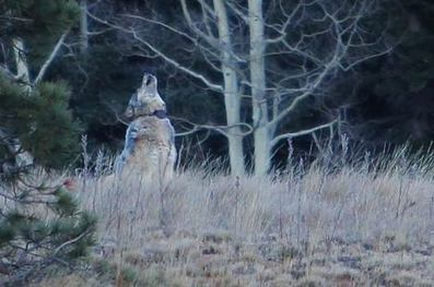 Utah coyote hunter who shot wolf won't face charges | Farming, Forests, Water & Fishing (No Petroleum Added) | Scoop.it