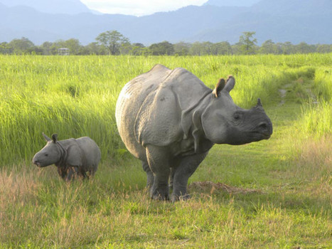 Good News for Greater one-horned rhinos | GarryRogers NatCon News | Scoop.it