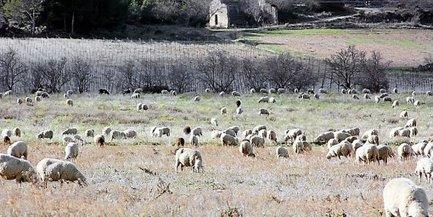 Des moutons pour entretenir les espaces embroussaillés et difficiles d'accès   Energies Renouvelables scooped by Bordeaux Consultants International   Scoop.it