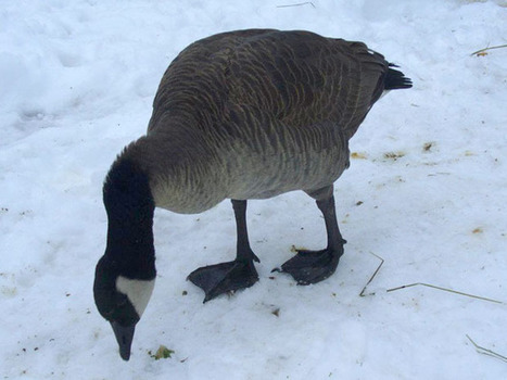 Peter Kent intervenes in the case of Lucy the Goose | News | National Post | This Gives Me Hope | Scoop.it