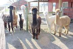 Slow and easy growth in alpaca farming - LimaOhio.com | Bikaner,rajasthan,india | Scoop.it