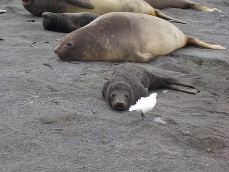 Premières naissances (1/2) #TAAF #Crozet #ElephantDeMer | Arctique et Antarctique | Scoop.it
