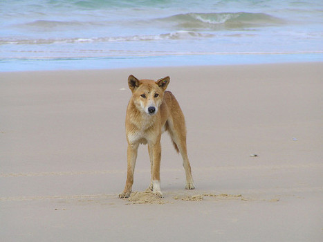 Study links ancient Indian visitors to Australia's first dingoes | Teaching history and archaeology to kids | Scoop.it