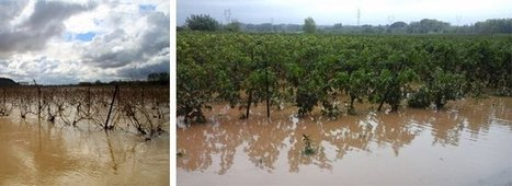 Inondations: des viticulteurs touchés en pleines vendanges dans l'Hérault | Actus Vins | Scoop.it
