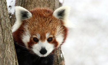 Red Panda Jump! (Video) | Care2 Healthy Living | animals: the wild and the pet | Scoop.it