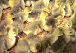 Oies et canards, le retour | Agriculture en Pyrénées-Atlantiques | Scoop.it