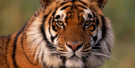 Petition: Save Tigers and Other Imperiled Wildlife | ~Environment,wildlife,children,human rights and global issues~ | Scoop.it