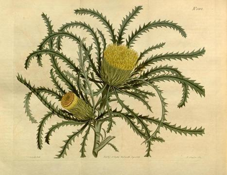 Why Dryandras have changed their name | Australian Plants on the Web | Scoop.it