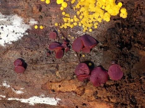 Photo de Champignon : Pezize cupulee - Ascocoryne cylichnium - Coryne cylichnium - Peziza cylichnium | Faaxaal Forum Photos gratuite Faune et Flore | Scoop.it