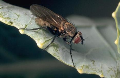 Nouvelle stratégie contre la mouche du chou | EntomoNews | Scoop.it