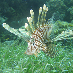 As Lionfish Invade the Caribbean and Gulf of Mexico, Conservationists Say Eat Up [Slide Show]: Scientific American | Sustain Our Earth | Scoop.it