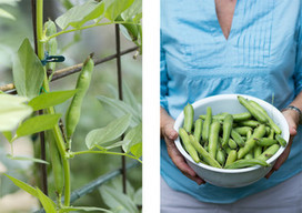 Summer Crops: How to Grow Beans | Garden Grunt | Scoop.it
