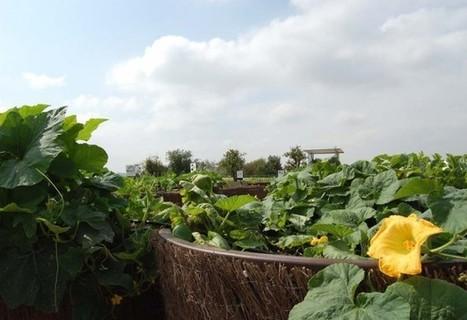 A Saint-Cyr-l'Ecole, une démonstration d'agriculture urbaine sur friches porte ses fruits | Agriculture urbaine et rooftop | Scoop.it