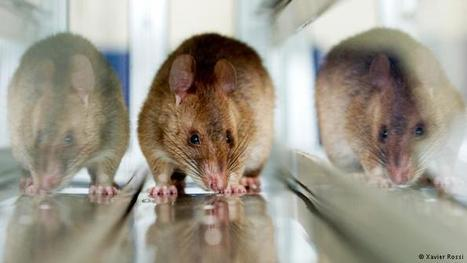 Most medical studies misreport animal testing | Sci-Tech | DW.COM | 04.01.2016 | Ethics? Rules? Cheating? | Scoop.it