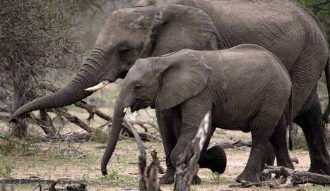Kruger elephant poaching incident is not 'the first in