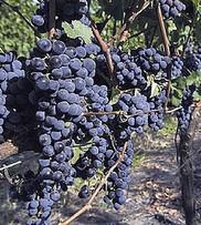 Uruguay: 1,3 millons de vin en vrac partent pour la Russie | Autour du vin | Scoop.it