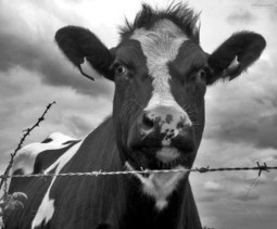 MOOve Over Oil: Cows May Heat Your Home - ChangingMedia | Unlocking the Social Determinants of Health | Scoop.it