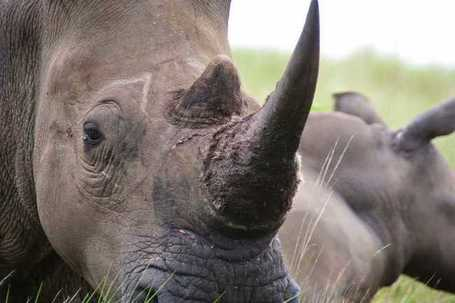 Rhino horn use slammed by Chinese traditional medicinal practitioners | What's Happening to Africa's Rhino? | Scoop.it