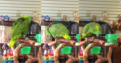 This parrot can sing 'Everything is Awesome' better than you - video | Prozac Moments | Scoop.it