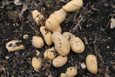 OGM-UE : La justice annule les autorisations de la pomme de terre Amflora | Questions de développement ... | Scoop.it