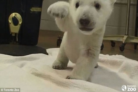 Adorable Polar Bear Cub Takes First Steps | Worldwide News | Scoop.it