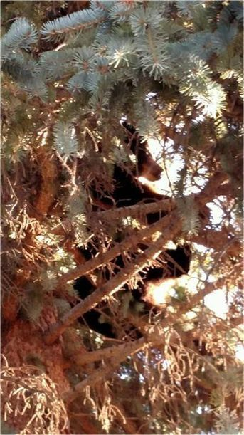 Mother Bear Hides In Tree For Hours After Man Kills Her Cubs | Nature Animals humankind | Scoop.it