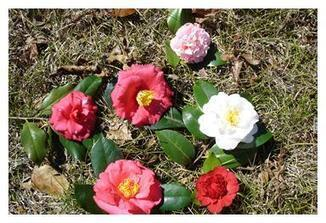 Camellias Offer Elegant Beauty and Style - Home Grounds Blog | Good Gardening News and Advice | Scoop.it