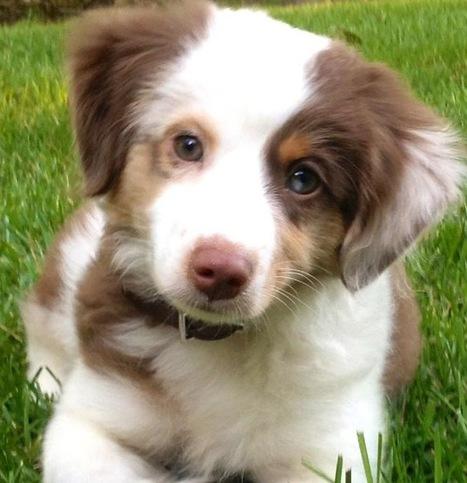 The Dog Breeds That Most Often Get Epilepsy | Cory's Story | Dog Training - Mark Mendoza | Scoop.it