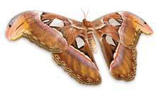 Love and other animals: the atlas moth | Agua | Scoop.it